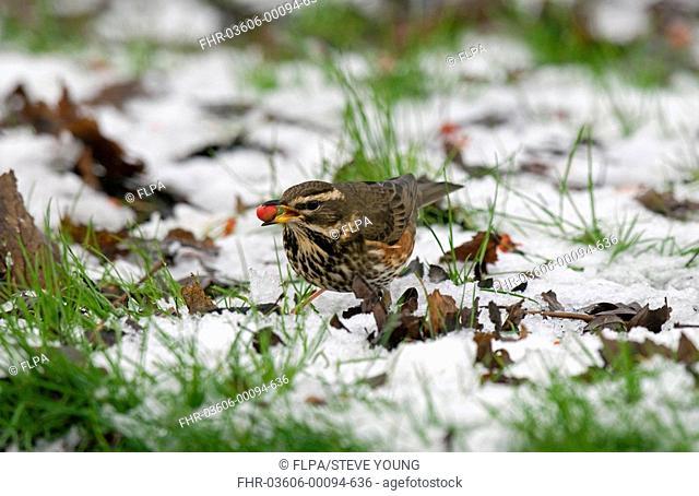 Redwing Turdus iliacus adult, feeding on fruit, standing in snow, England, winter