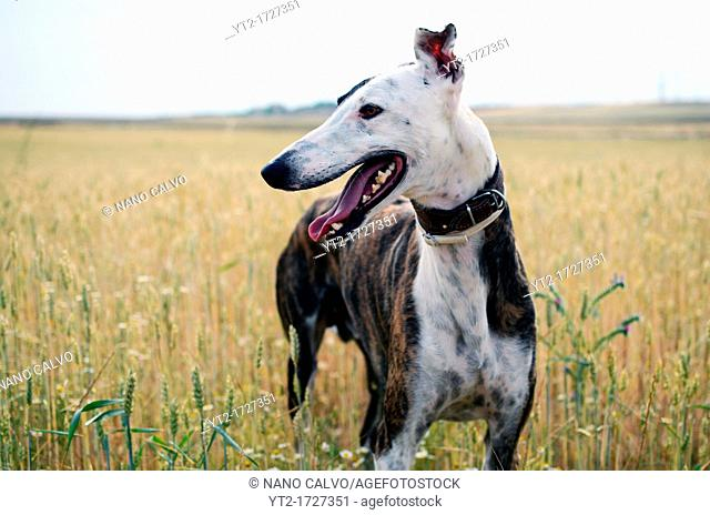 Beautiful Spanish greyhound in nature