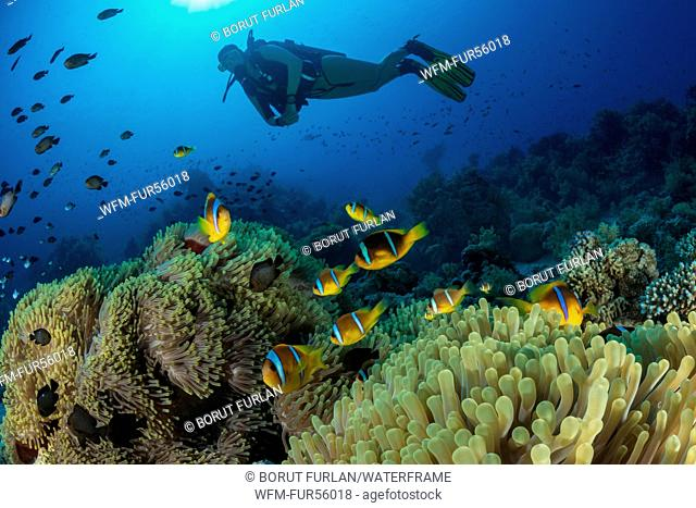Red Sea Anemonefish and Scuba Diver, Amphiprion bicinctus, Ras Muhammad, Red Sea, Sinai, Egypt