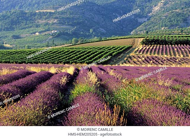 France, Drome, Drome Provencale, landscape, vines and lavander near Sainte Jalle