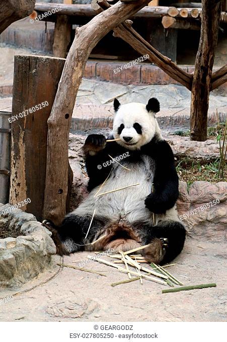 panda bear eating bamboo in the zoo