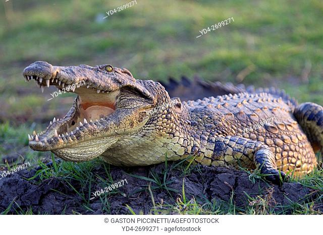 Nile Crocodile (Crocodylus niloticus), crawling through mud along Chobe River, Chobe National Park, Botswana