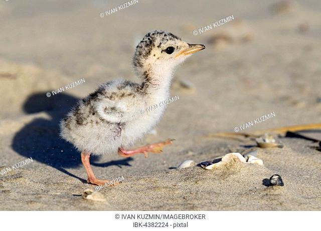 Least tern (Sternula antillarum), chick at sandy beach, Galveston, Texas, USA