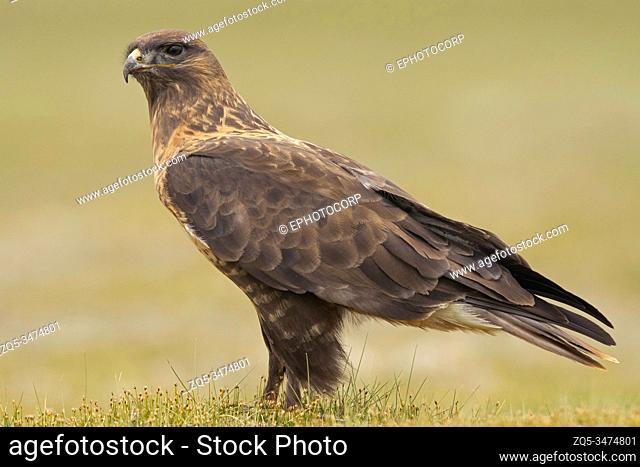 Upland Buzzard, Buteo hemilasius, Ladakh, India
