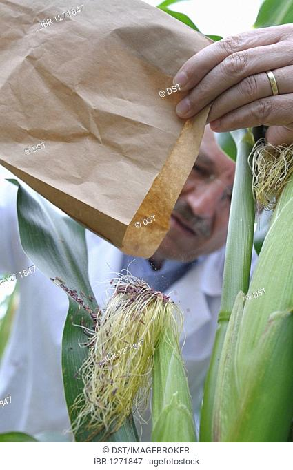 Prof. Dr. Melchinger, hybrid research, distributing collected pollen on female flowers on the experimental corn field at the University of Hohenheim