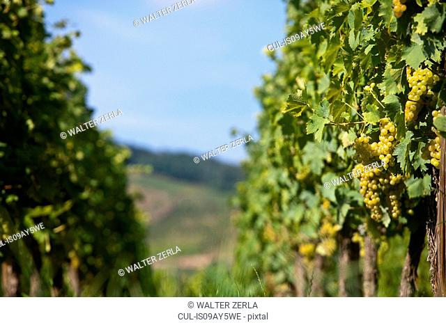 Rows of vines and grapes in vineyard, Alsace, Lorraine, France