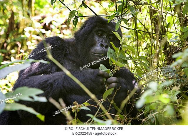 Habituated group of mountain gorillas (Gorilla beringei beringei), Bwindi Impenetrable Forest National Park, being studied by scientists from the Max Planck...