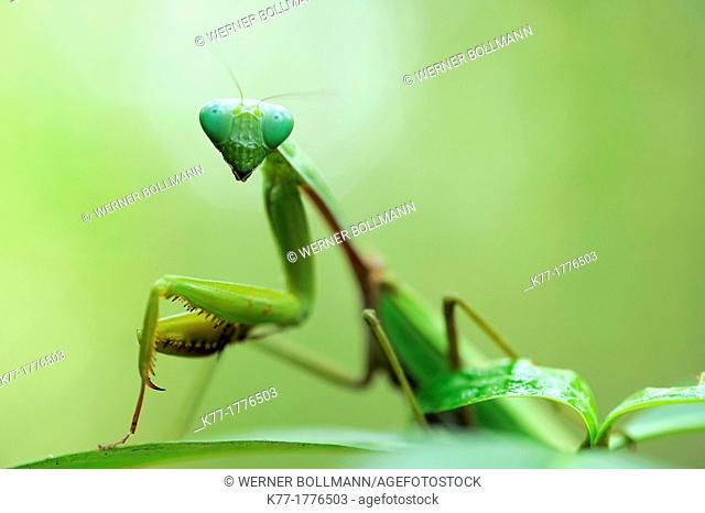 Praying Mantis, Tanjung Puting National Park, Province Kalimantan, Borneo, Indonesia