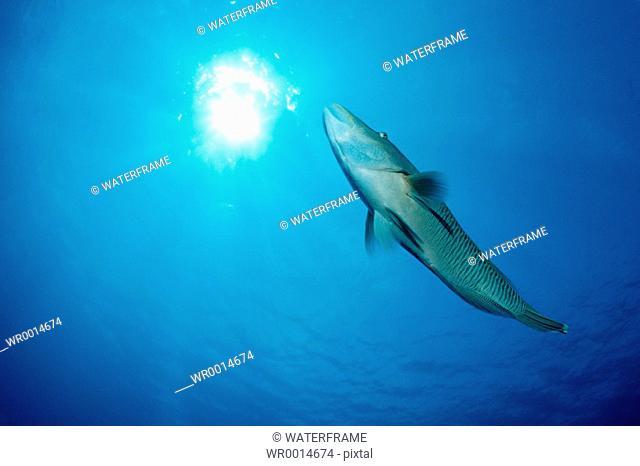 Napoleon Humpback Wrasse, Cheilinus undulatus, Blue Corner, Micronesia, Palau