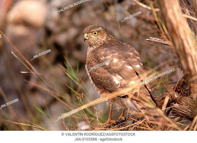 Sparrowhawk (Accipiter nisus) in the region of Los Serranos. Valencia