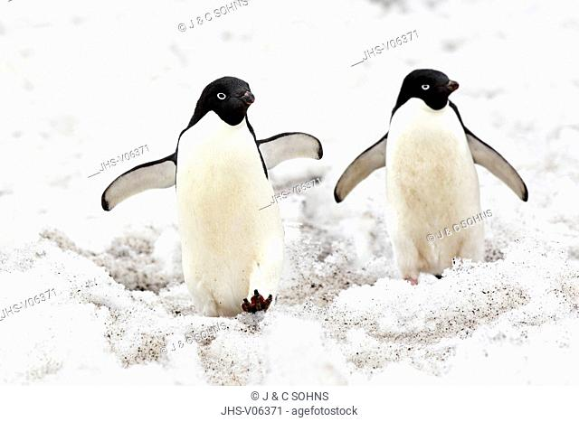 Adelie Penguin, (Pygoscelis adeliae), Antarctica, Devil Island, adult couple walking in snow