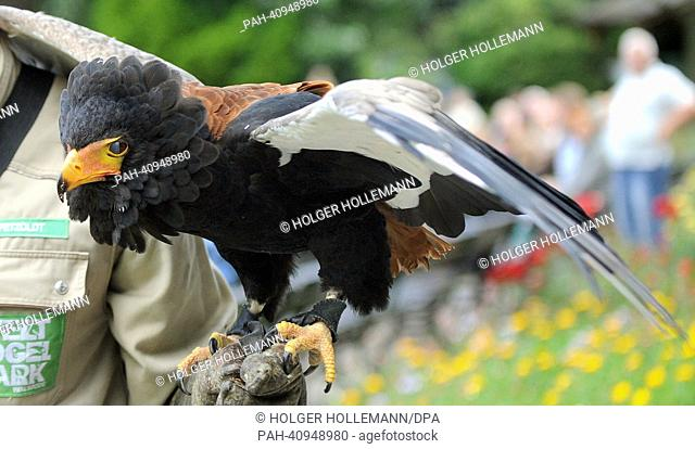 Bateleur Nelson performs during a bird show at Weltvogelpark inWalsrode, Germany, 26 June 2013. The training for the show with around 100 birds can take up to...