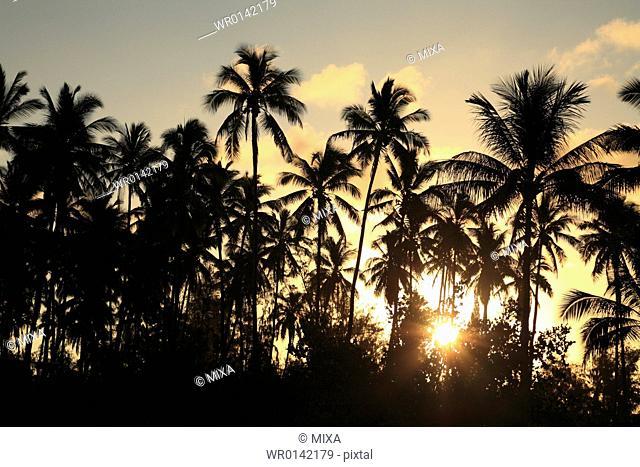 Morning Sun And Palm Tree, Kauai, Hawaii, U.S.A