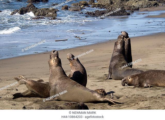 bulls fighting, northern elephant seal, Mirounga angustirostris, USA, North America, Central california coast, january, 2009, coast, beach, animals, shore