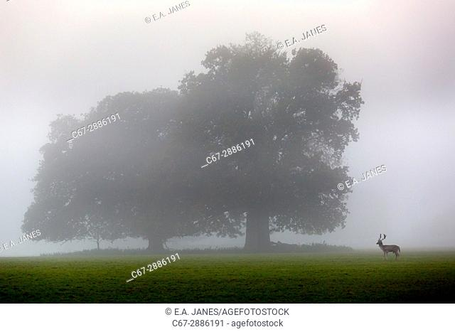 Fallow Deer Cervus dama herd and sunrise during Autumn rut at Holkham Hall Norfolk