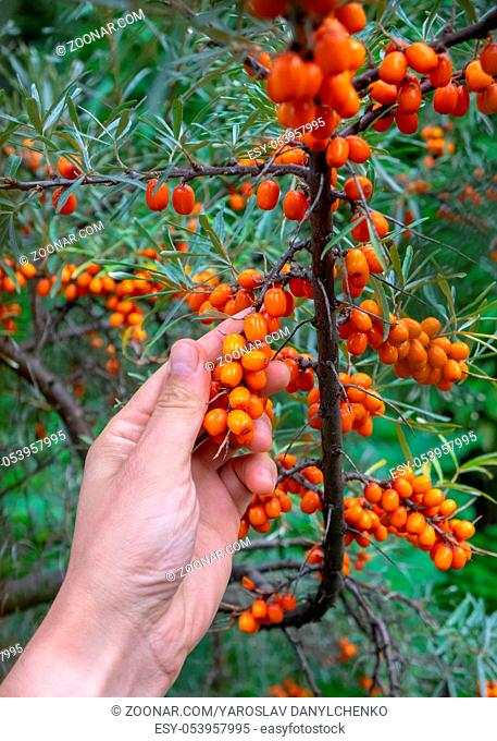 A man's hand picking ripe sea-buckthorn berries in a rural garden. The concept of growing organic food