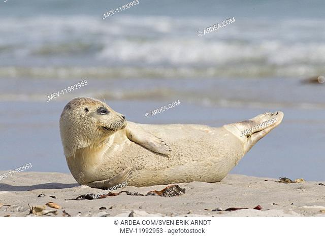Common / Harbour Seal - young seal resting on the beach - Wadden Sea, Germany