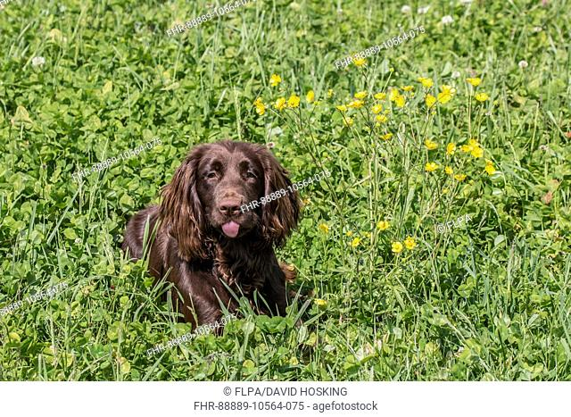 Domestic Dog, Working Cocker Spaniel, juvenile female, seven months old, laying in meadow, Suffolk, England, May