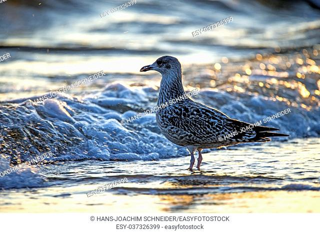 Herring gull on a beach of the Baltic Sead during sunrise