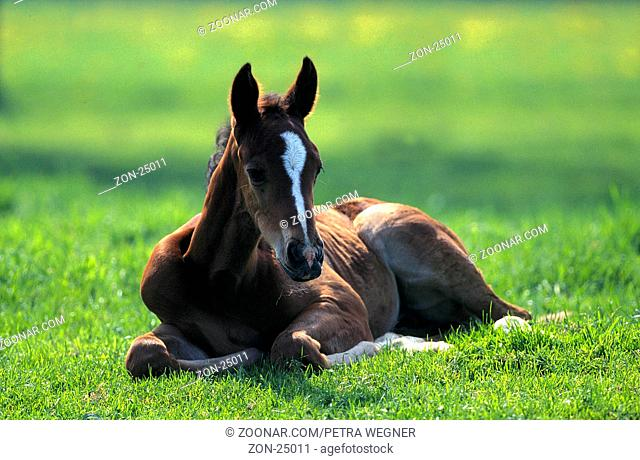English Thouroughbred, foal  /  Englisches Vollblut, Fohlen  /  [Tiere / animals, Saeugetiere / mammals, Haustier / Nutztier / farm animal / domestic