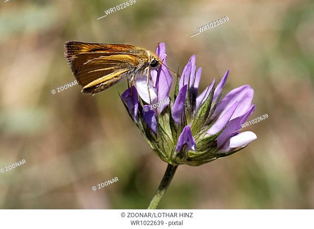 Thymelicus acteon, Lulworth Skipper