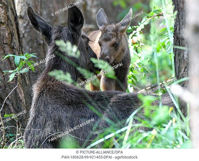 27 June 2018, Germany, Gross Schoenebeck: A moose calf standing beside its mother, moose cow Marlies, in an enclosure at Wildpark Schorfheide