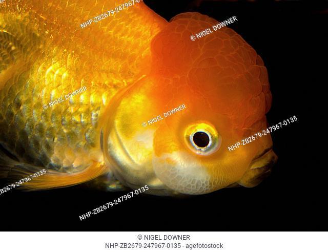 Close-up of the head of a Lionhead goldfish (Carassius auratus) swimming in an aquarium at the King's Lynn Koi Centre Norfolk