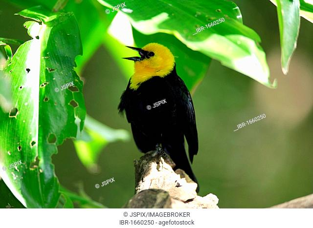 Yellow-headed Blackbird (Xanthocephalus) singing in a tree, USA, North America