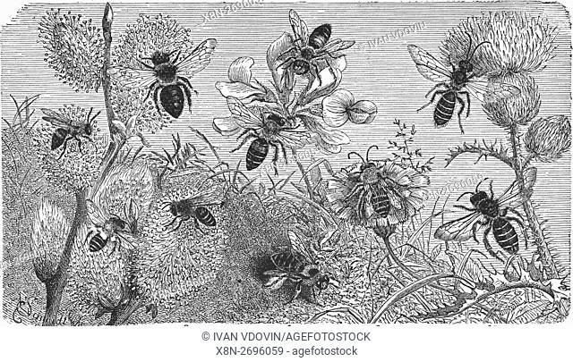 Bees, Dasypoda hirtipes, mining bee, Andrena schencki, Anthrena cineraria, ashy mining bee, Halictus quadricinctus, illustration from book dated 1904