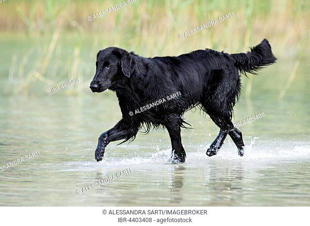 Flat-Coated Retriever, black, running through water in front of reeds, Tyrol, Austria