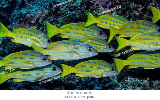 Bluestripe Snapper (Lutjanus kasmira) schooled at Garden Eel Cove; Kona, Island of Hawaii, Hawaii, United States of America