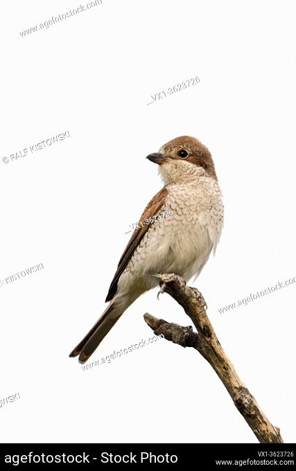 Red-backed Shrike ( Lanius collurio ), adult female, perched on top of a dry stick, on its favourite lookout, watching, clean background, wildlife, Europe