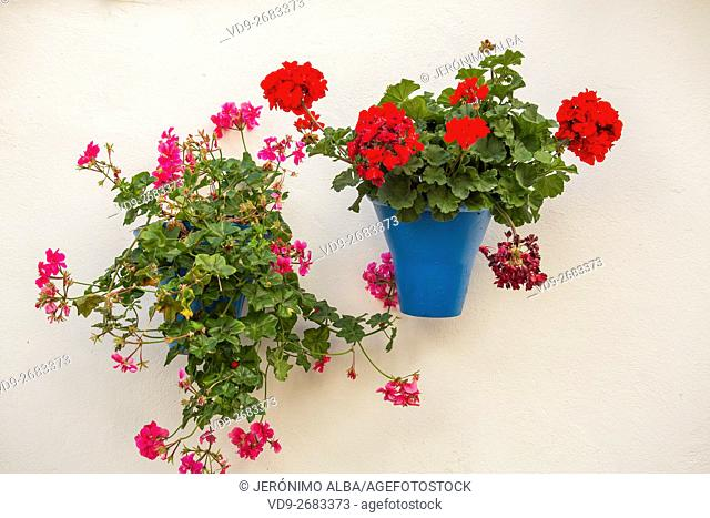Potted plant with red flowers on a white house wall, Cordoba City Andalusia, Spain, Europe