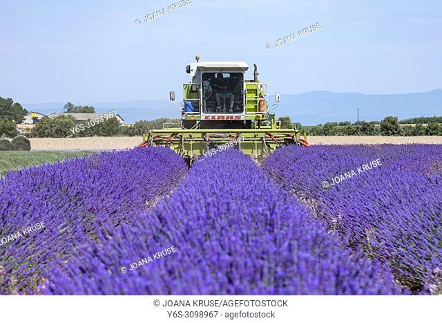 harvesting lavender fields in Valensole, Alpes-de-Haute-Provence, Provence, France, Europe