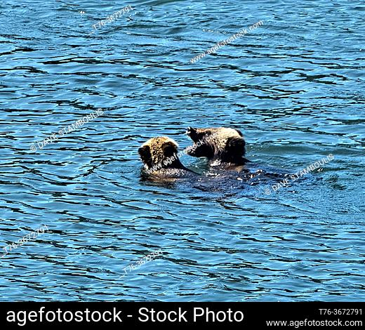 Grizzly cubs playing in the Snake River, Oxbow Bend, Grand Teton National Park, Wyoming, USA