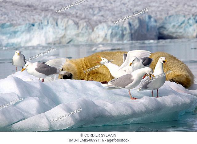 Norway, Svalbard, Spitsbergern, Polar Bear (Ursus maritimus) with pieces of a killed seal and Glaucous gull (Larus hyperboreus)