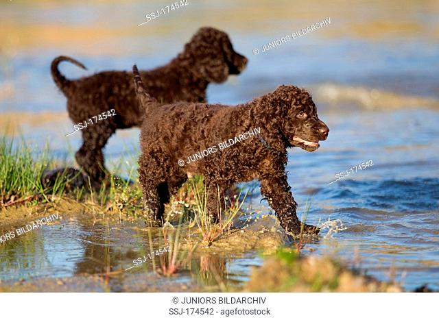 Irish Water Spaniel. Two puppies at the waters edge