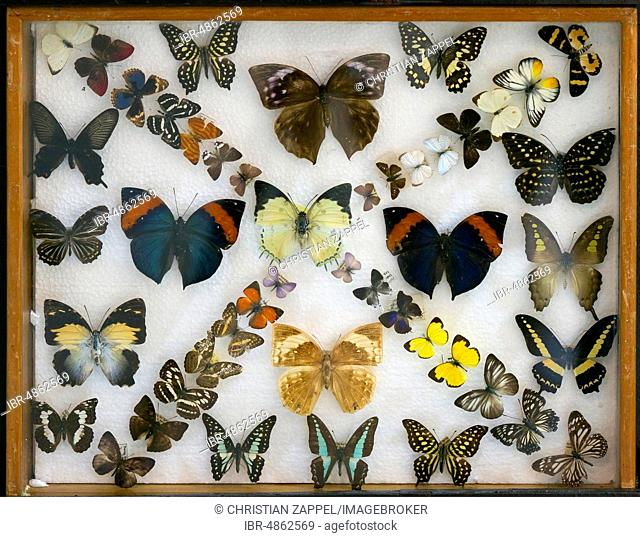 Various tropical butterflies in display case, Kinabalu National Park, Sabah, Borneo, Malaysia