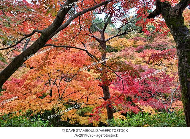 A riot of fall colors at Tofuku-ji Temple, Kyoto, Japan