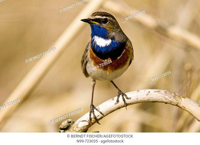 Bluethroat (Luscinia (Cyanosylvia) svecica), male sitting on a dry branch, Regnitz valley, Franconia, Bavaria