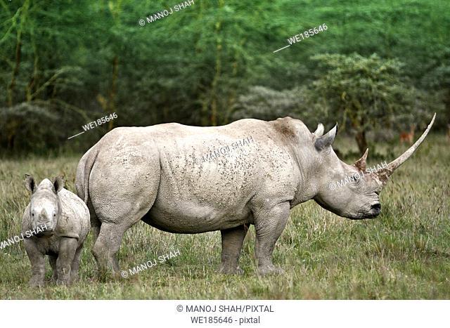 White Rhino and baby grazing at Lake Nakuru National Park