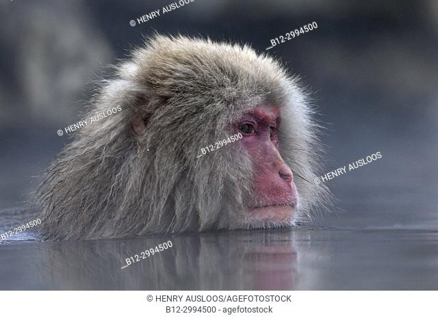 Japanese macaque or snow japanese monkey (Macaca fuscata),Japan