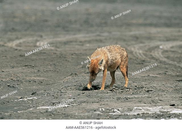 Golden Jackal (Canis aureus) digging to recover cache of food, Ngorongoro conservation area, Tanzania