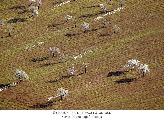 Aerial view of almond trees in bloom in the field, Mallorca lands, Balearic Island, Spain