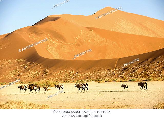 A group of Oryx feed between the dunes of the Namib Naukluft, the highest in the world