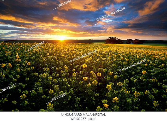 Landscape photo of a colourful sunrise sky over a canola field. Overberg, Western Cape, South Africa