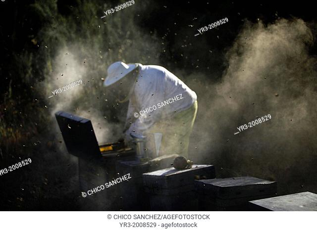 A beekeeper of Puremiel, a honey company that produces organic raw honey, check beehives using smoke in Puerto Serrano, Cadiz, Andalusia, Spain, June 3, 2013
