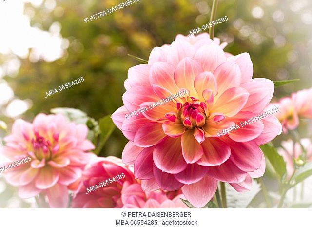 The wonderful blossom of a dahlia (Dahlia), close-up