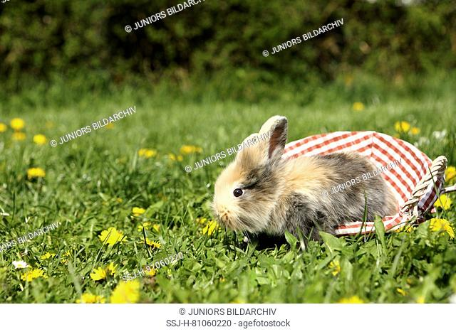 Dwarf Rabbit. Young sitting in a small basket on a flowering meadow. Germany