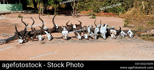 a collection of skulls from African mammals including giraffe, buffalo and others antelopes. Bwabwata, Namibia